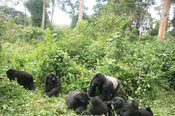 Mountain Gorilla Census-Silverback Gorilla