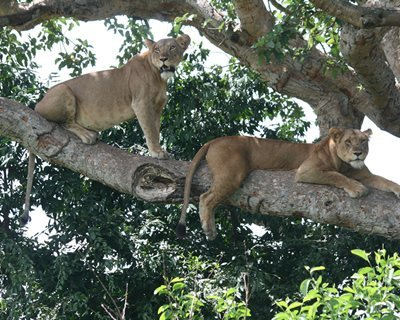 2 lions on a tree