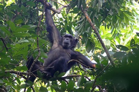 3 Days Chimpanzee tracking Nyungwe forest