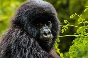 Gorilla Holiday Tour