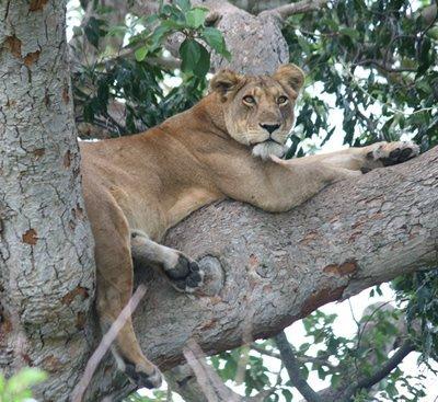 Tree Climbing lions Queen
