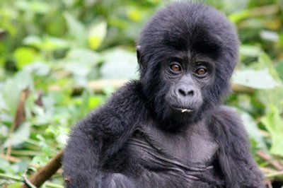 Uganda Young Mountain Gorilla