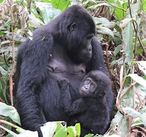 Mother and Baby Gorilla in Bwindi Forest