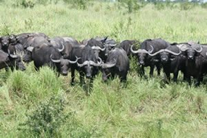 Cape Buffaloes in Queen Elizabeth National Park, Uganda