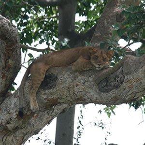 Ishasha Tree Lion