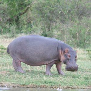 Hippo at Kazinga Channel Shores
