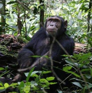 Kibale Chimpanzee Tracking