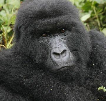 Mountain Gorilla in PNV, Rwanda