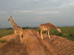Giraffes in Murchison Falls National Park