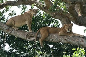 Tree Lions in Ishasha