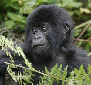 Young Gorilla in Volcanoes National Park