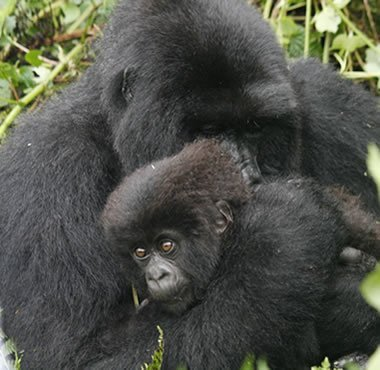 Mountain Gorillas in Volcanoes NP, Rwanda