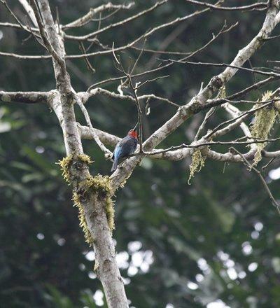 Birding Ruhija Area