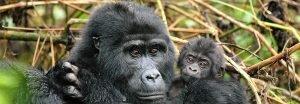 Gorilla Safaris Adventure