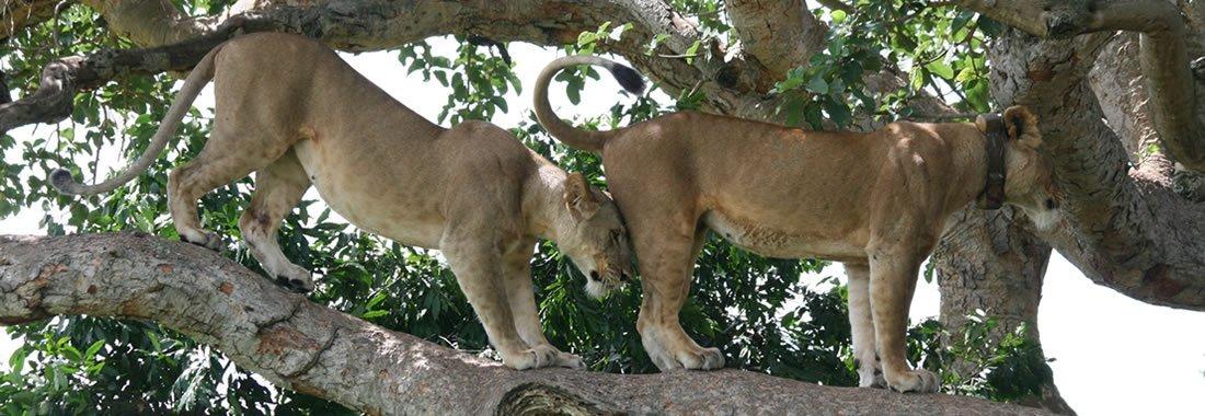 ishasha-lions