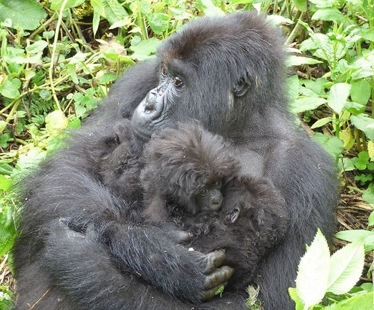 Twin Gorillas Born in Rwanda