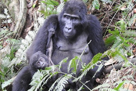 11 days Uganda gorilla