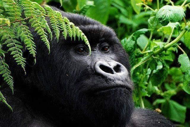 Gorilla safaris-Gorilla Safari Adventure