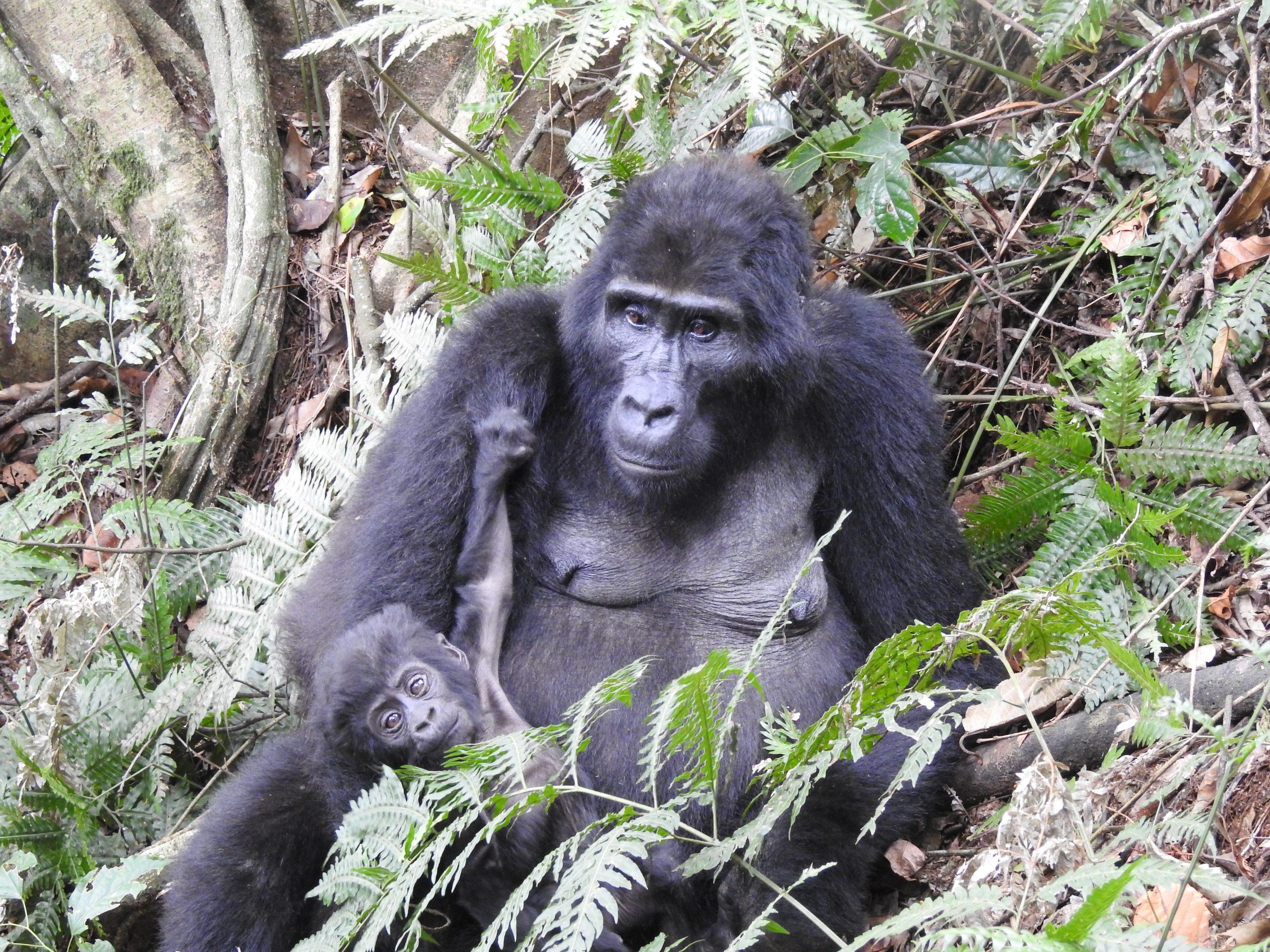 Gorilla trekking Rwanda Uganda