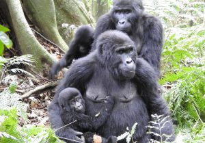 Best of Uganda Safari, Gorilla