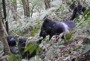 3 Days Gorilla Habituation Experience in Bwindi