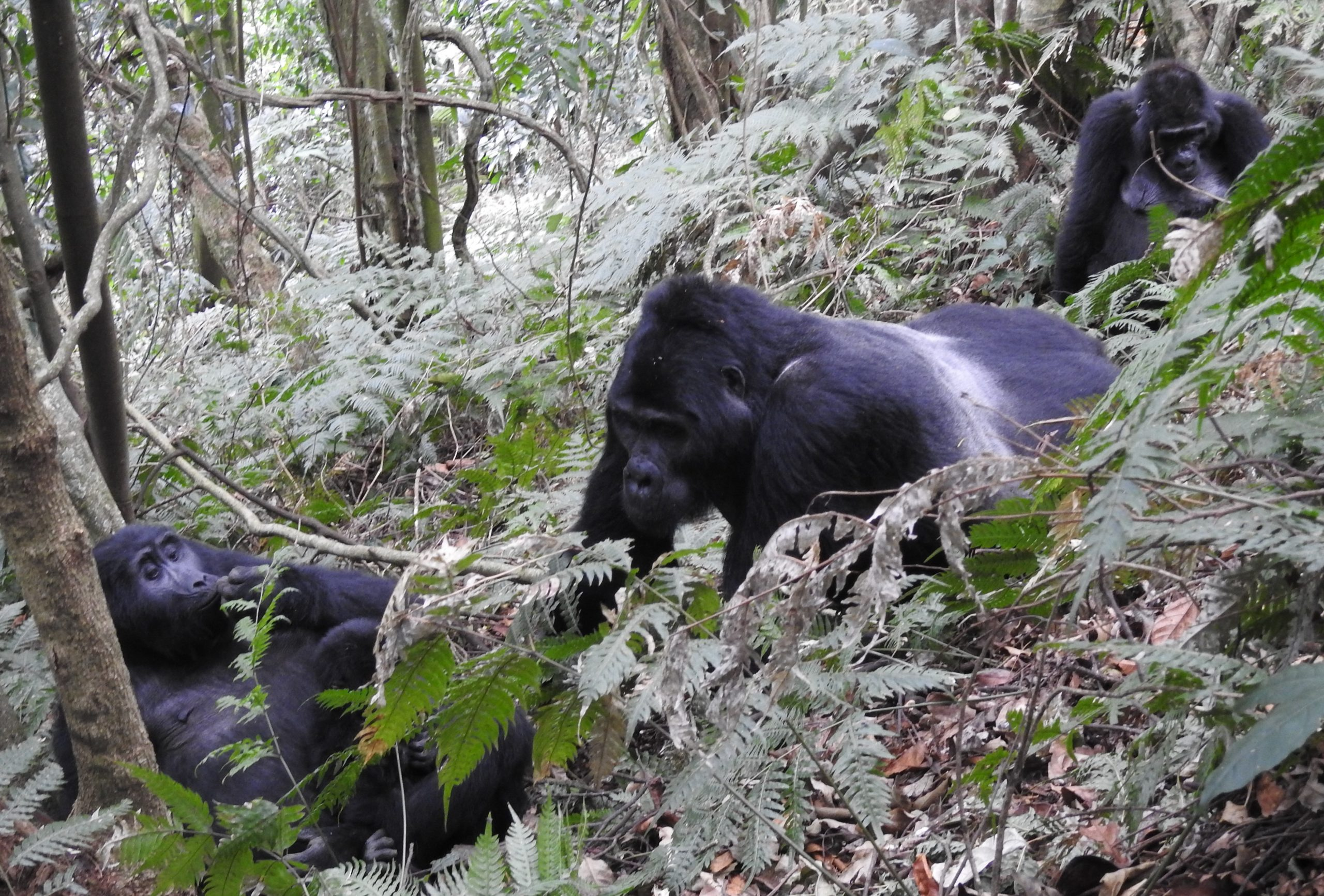 3 Days Gorilla Habituation Experience in Bwindi