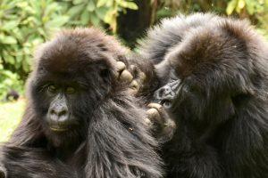 Rwanda gorilla trek & Dian Fossey grave hike
