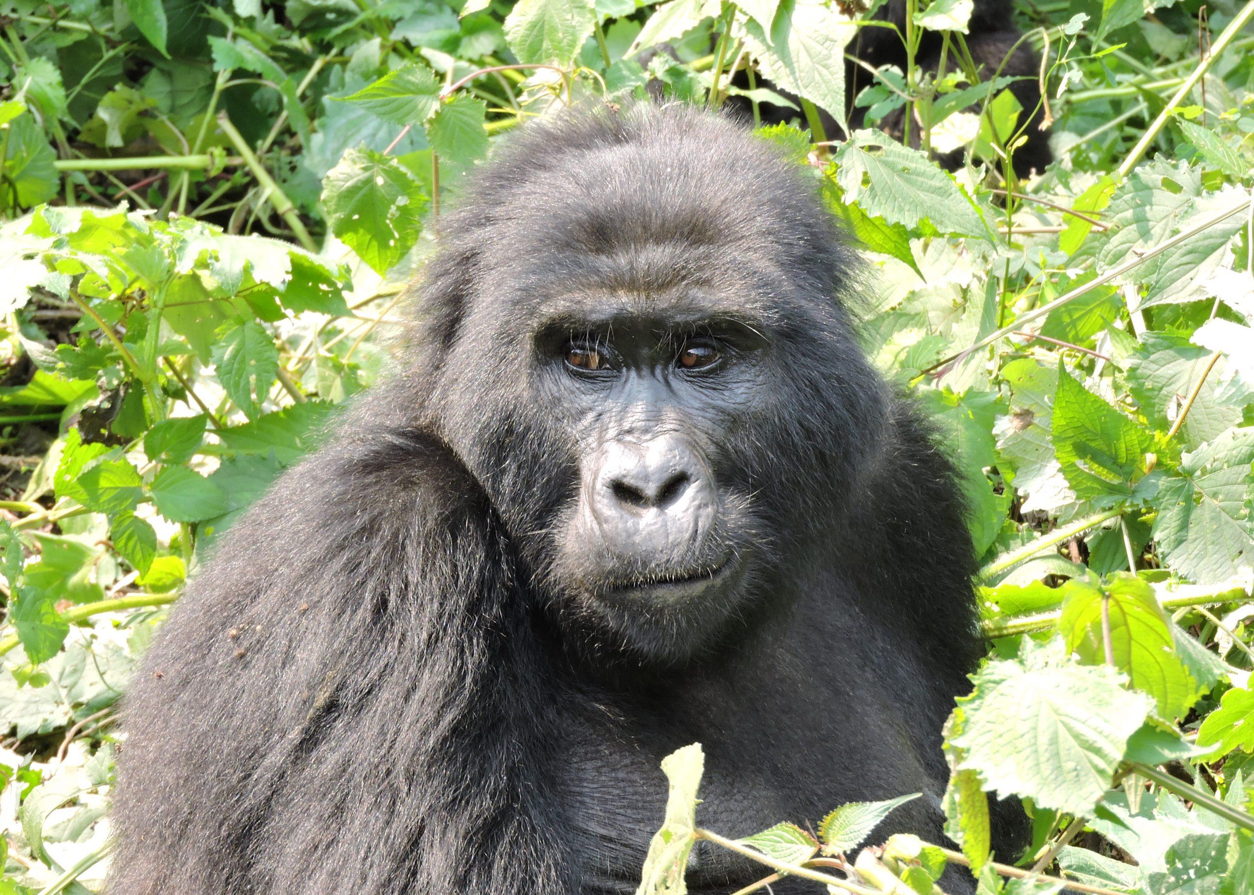 Uganda gorilla trekking