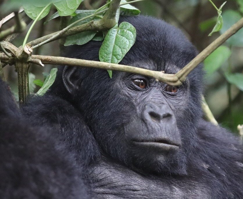 8 Days Primate Safari Uganda