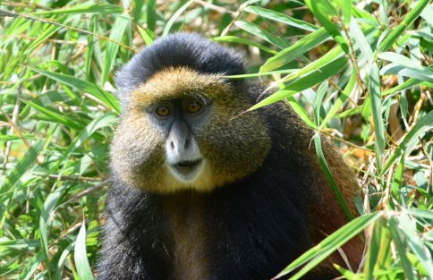 Golden Monkey trekking Rwanda and Uganda