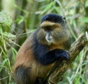 Golden Monkey trekking Uganda and Rwanda
