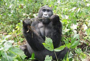 2 Days Gorilla Trek Uganda from Kigali