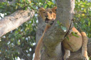 Tree climbing lions in ishasha Queen Elizabeth National Park Uganda