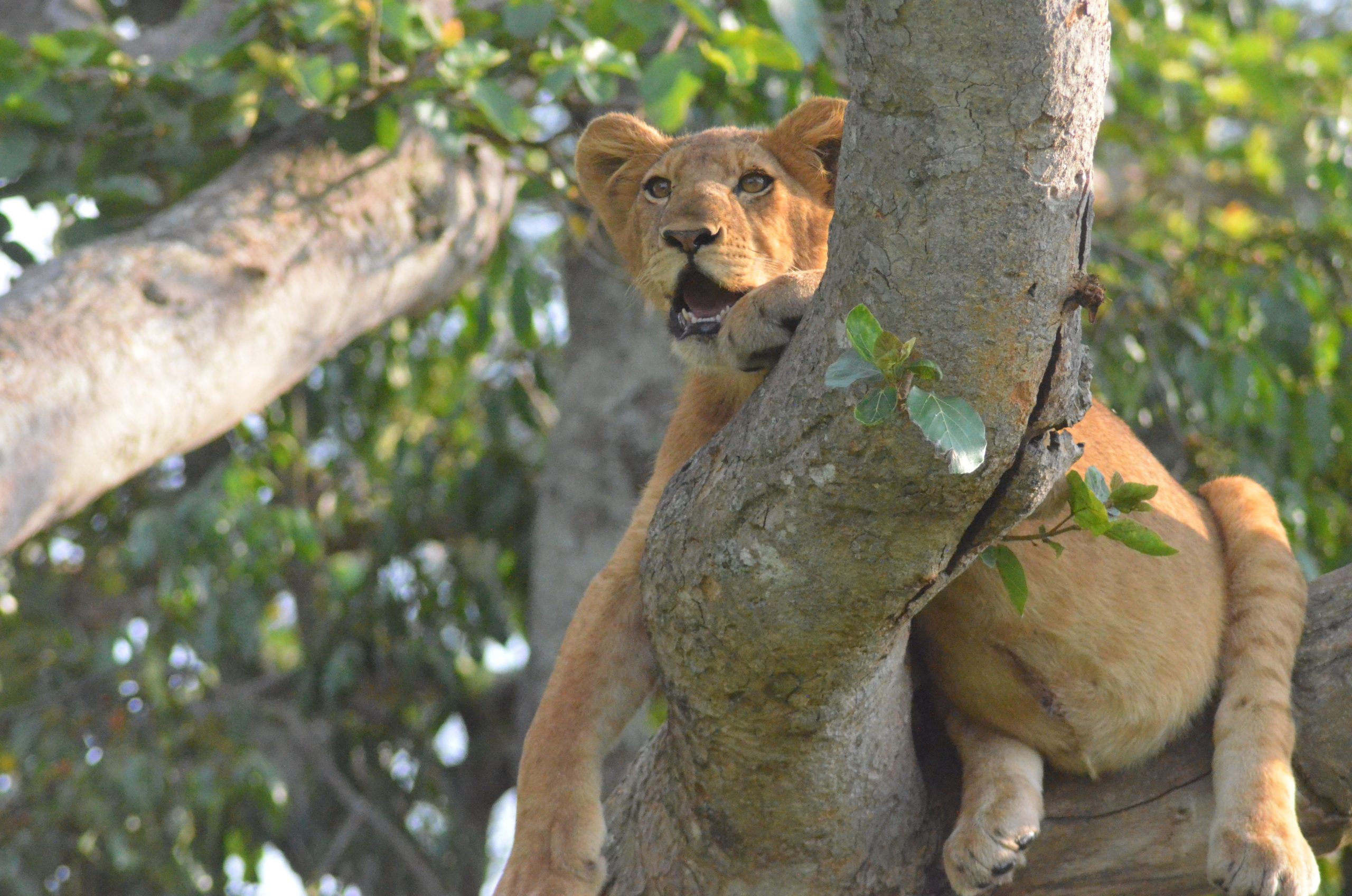 Tree climbing lions in ishasha Queen Elizabeth National Park Uganda