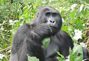 21 Days Best of Uganda Rwanda Tour