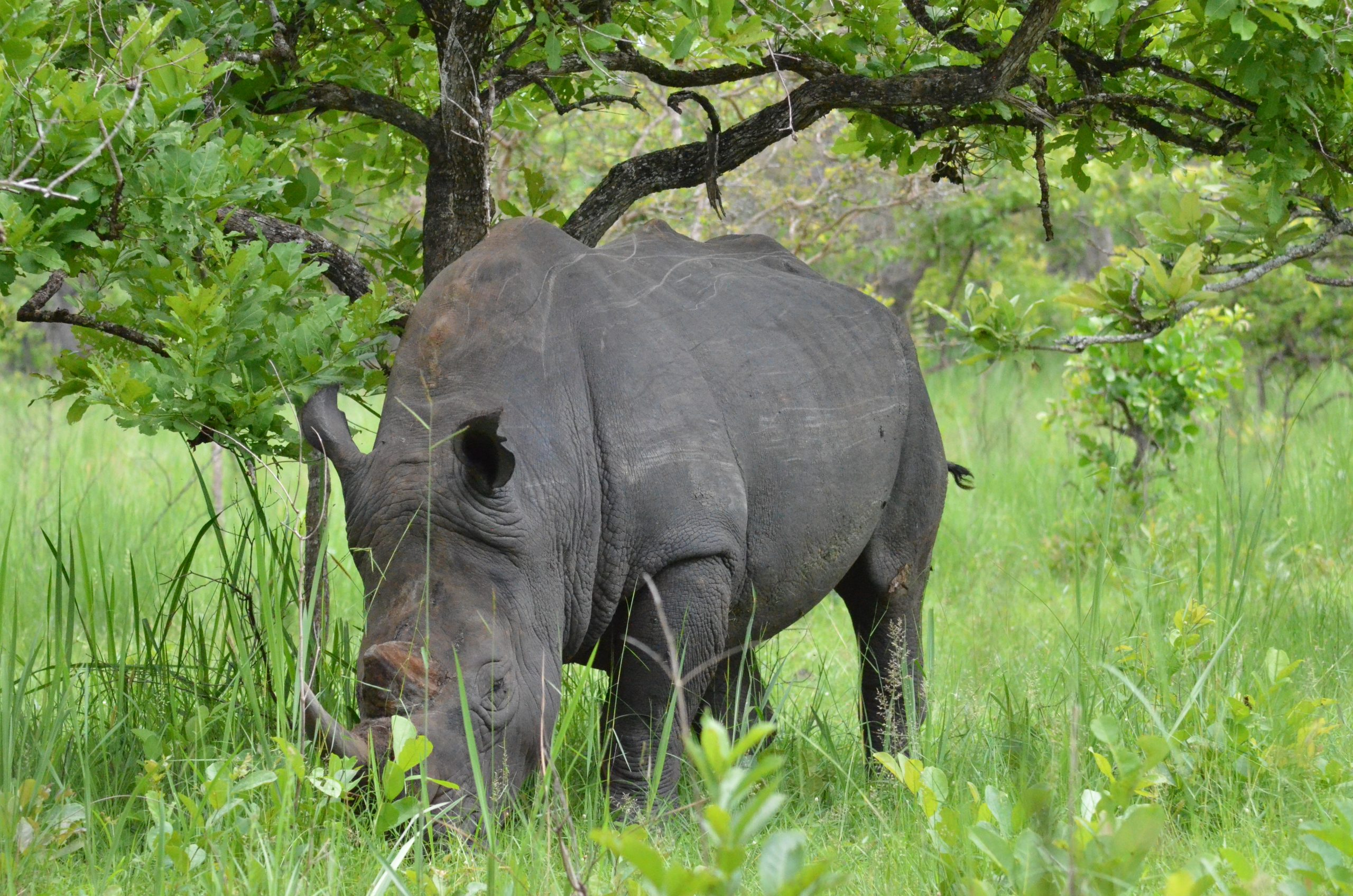 Rhino tracking in Ziwa Sanctuary Uganda