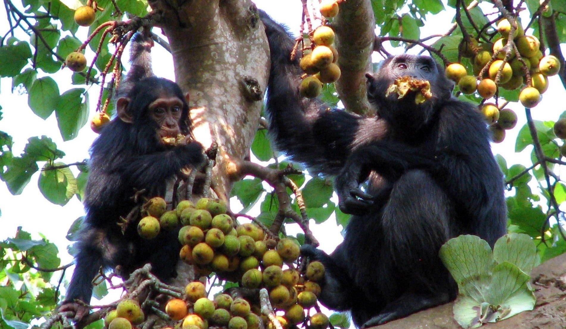 Chimpanzee Tracking in Uganda