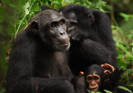 Chimpanzee trekking in Kymbura Gorge