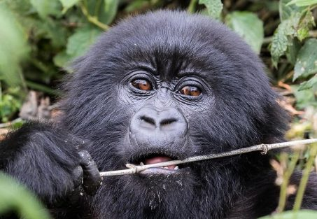 Comparing gorilla trekking in Uganda and Rwanda