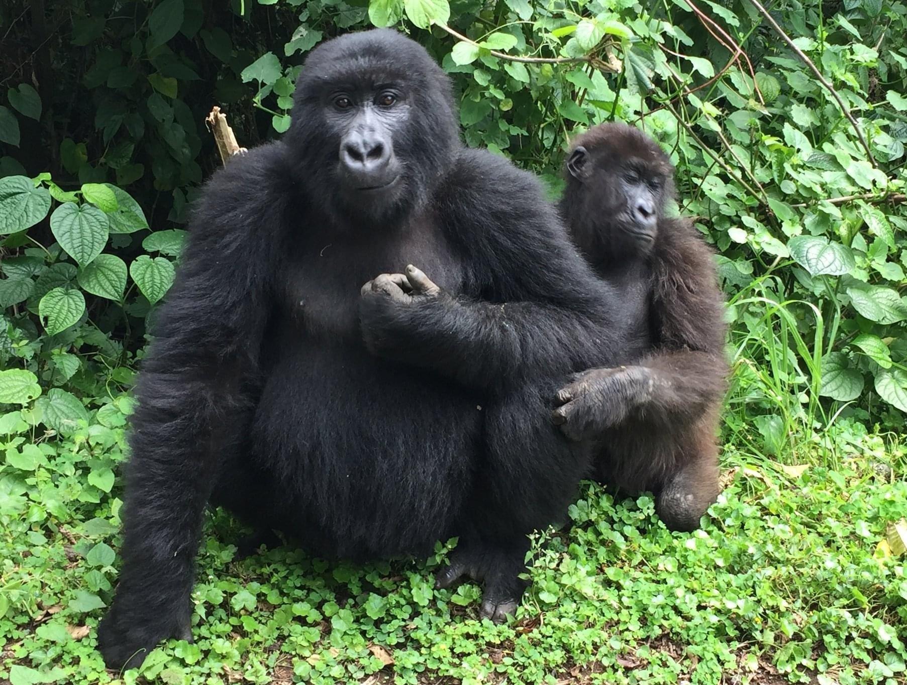 Booking gorilla trekking permit Uganda and Rwanda