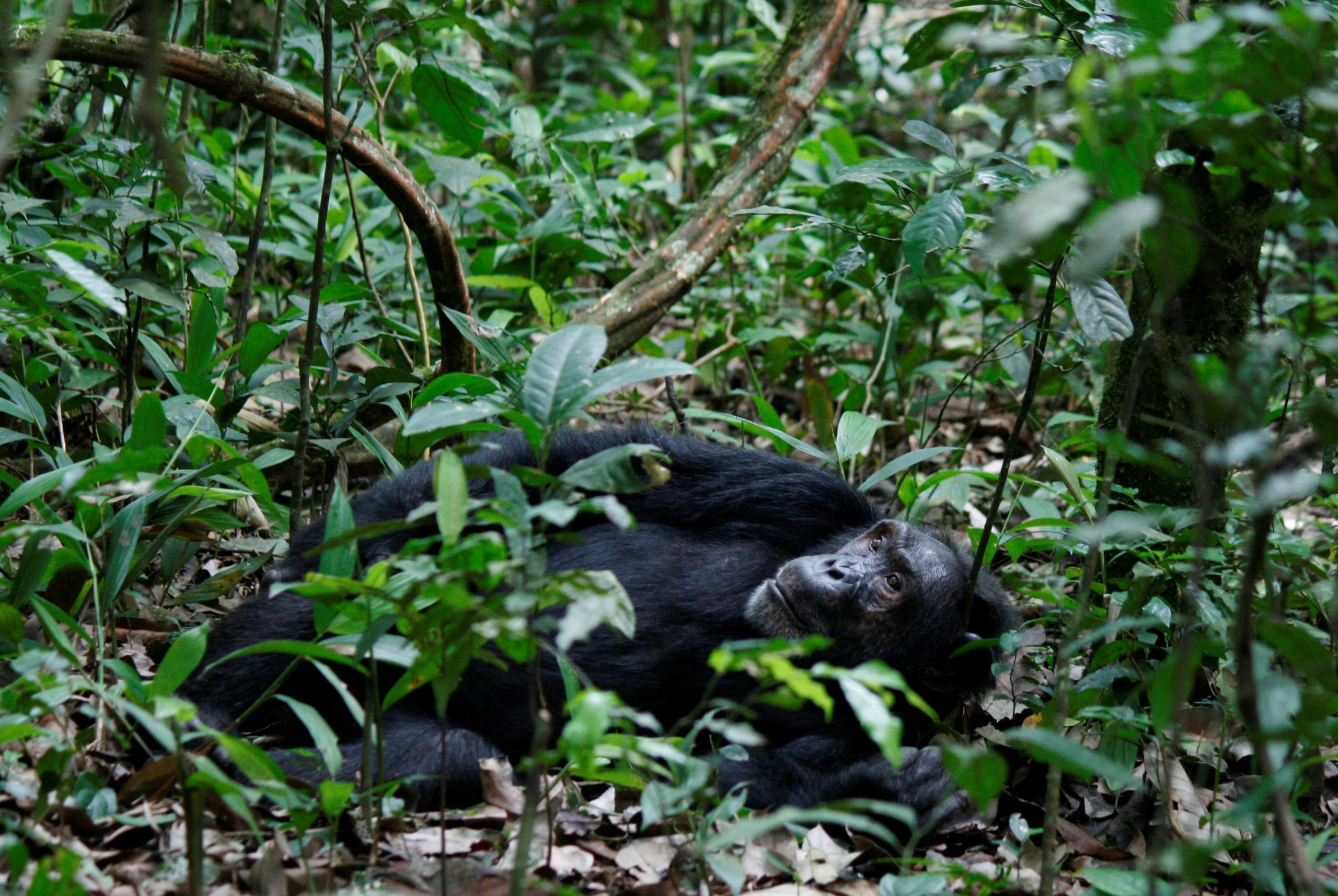 Chimpanzee Habituation Experience in Uganda Kibale Forest national park