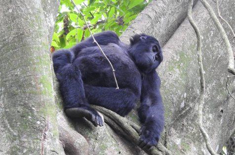 Booking gorilla trekking permit in Uganda & Rwanda