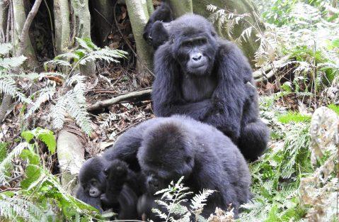 Filming Mountain Gorillas in Uganda & Rwanda